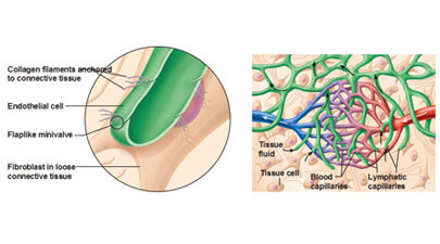 Interesting Facts About Lymphatic System