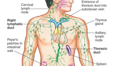 the human lymphatic system, Human Body
