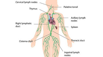 Parts of Lymphatic System
